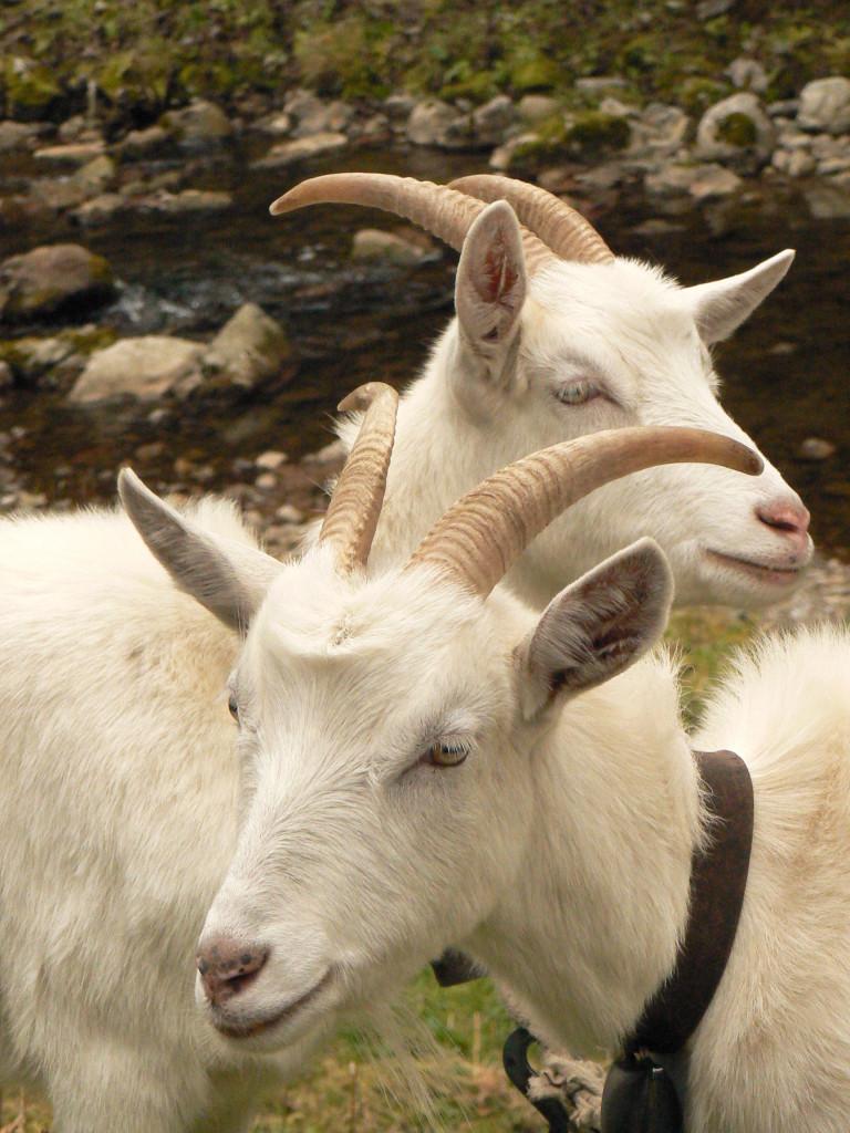 Mlyny Oblazy - kozy