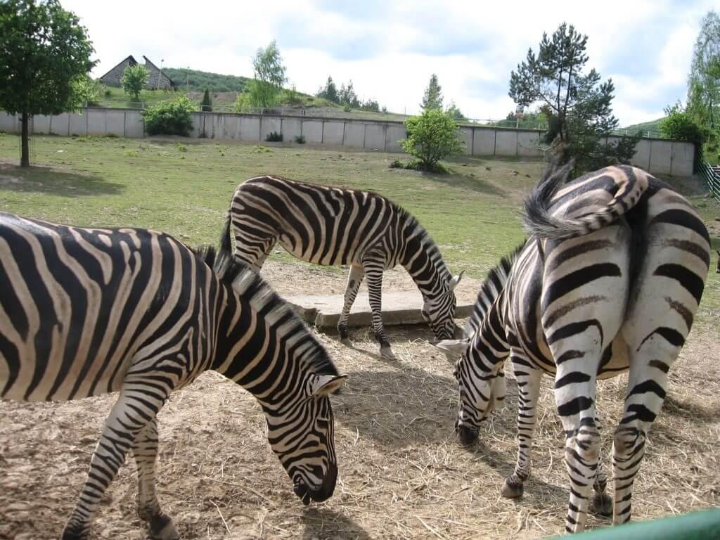 zebry v ZOO Košice